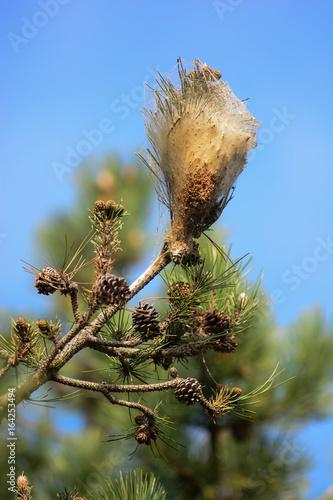 processonaria del pino (Thaumetopoea pityocampa) - nido di bruchi su ramo Poster