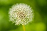 white dandelion blowball
