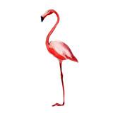 Pink flamingo, watercolor illustration isolate on white background.