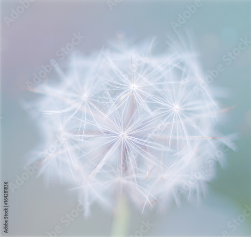 Beautiful close up single white flower dandelion on a color blue background. Spring flower, selective focus - 164281836