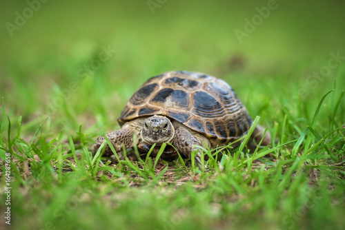 Fotobehang Schildpad The central asian tortoise on the grass