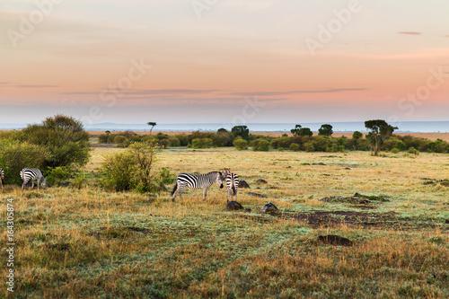 Fototapeta herd of zebras grazing in savannah at africa