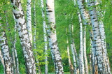 Trunks of a birch grove in the early morning of summer