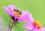 Bee picking pollen on Michaelmas daisy. Beauty bright green natural background.  - 164315653