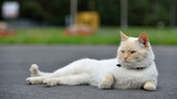 Beautiful red cat lying on the road and resting