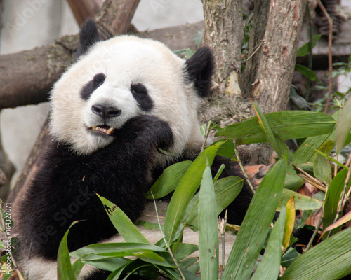 Aluminium Panda Giant Panda