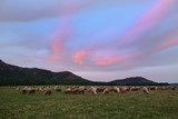 Flock of sheep grazing in a hill at sunset. - 164360470