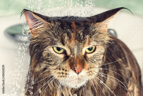 Wet cat in the bath Poster