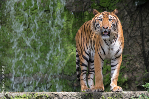 A Tiger Live In Khao Kheow Open Zoo,Thailand. Poster