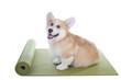 corgi dog sitting on a yoga mat, concentrating for exercise, isolated on white background