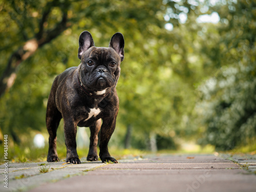 Poster Franse bulldog Beautiful French bulldog. Portrait of a black dog. Nature, summer, Park