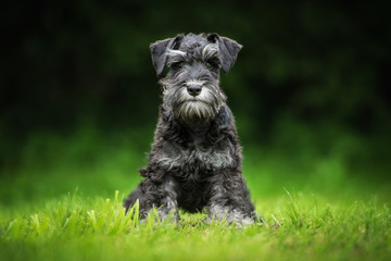 Miniature schnauzer puppy sitting on the lawn