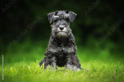 Fototapeta Miniature schnauzer puppy sitting on the lawn