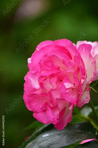 Fotobehang Roze 魅惑的なバラ ストロベリーアイス