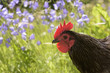rooster  with flowers