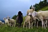 Schafe auf Wiese in den Alpen - 164440448