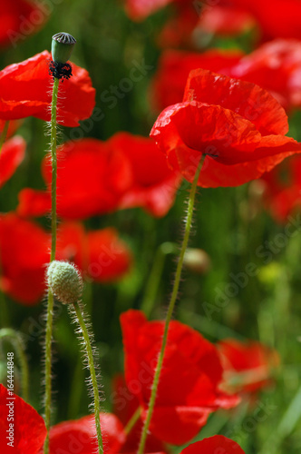 Poster Rood traf. poppy field blooming in summer