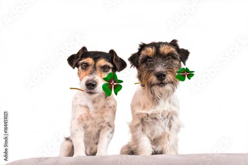 zwei Hunde tragen vierblättrige Kleeblätter - Jack Russell Terrier