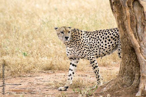 Cheetah walks around a tree on a savanna in Tsavo West Reserve in Kenya Poster