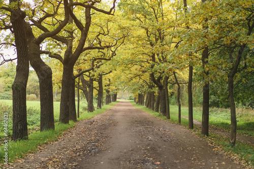 oak alley in park in early autumn Poster