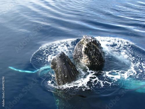 Deux baleines, têtes hors de l'eau, Antarctique