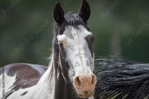 Wild Mustang Horse / solo horse head and upper body in Wyoming Plakát