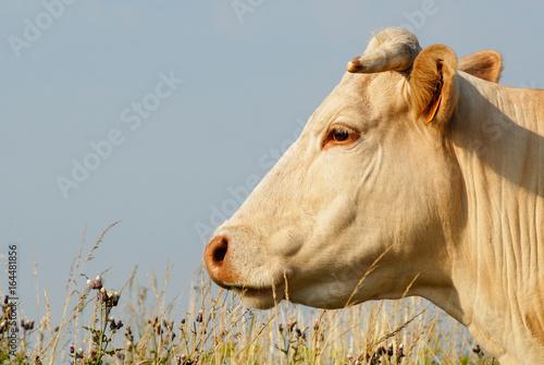 Vache - 164481856