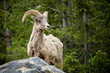 A magnificent male big horn sheep standing in wooded area in Colorado looking right