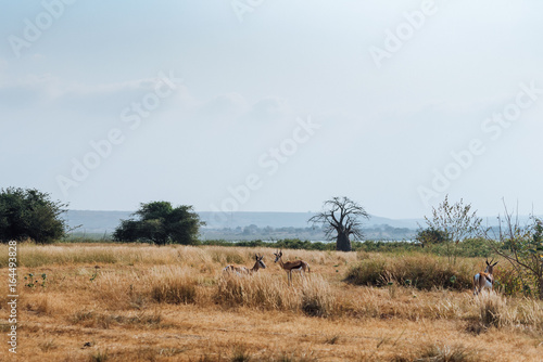 Deurstickers Baobab Angolan Antelope