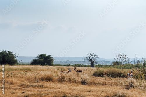 Foto op Aluminium Baobab Angolan Antelope