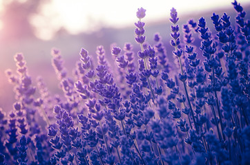 Lavender flowers, blooming in sunlight