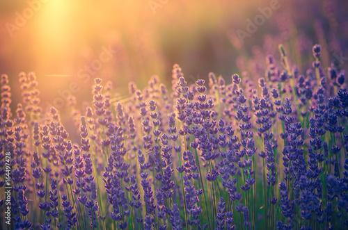 Fridge magnet Lavender flowers, blooming in sunlight