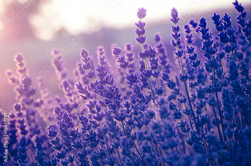 Lavender flowers, blooming in sunlight - 164497447