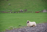 Sheep in Iceland - 164501481