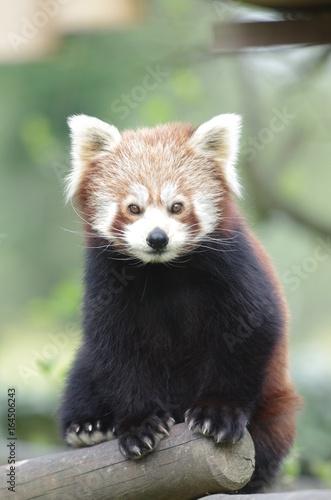 Portrait de Panda Roux Poster