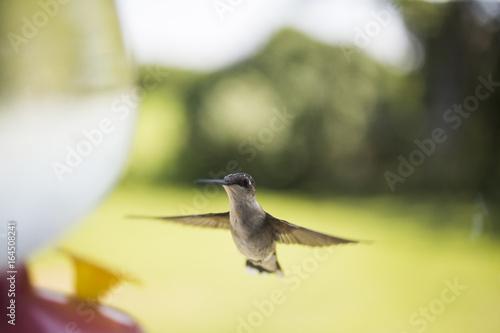Hummingbirds karmienia w lecie