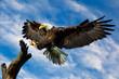 Bald Eagle Wings spread
