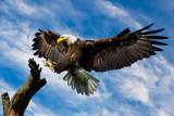 Bald Eagle Wings spread - 164520696