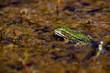 Common European water frog, green frog in its natural habitat, Rana esculenta