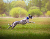 whippet dog runs on the grass on the field on trees background