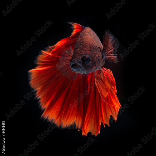 Red betta on black background Poster