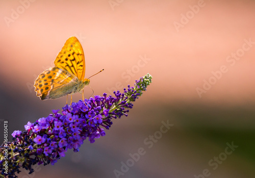 silver tainted fritillary butterfly on buddleia iv - 164550478