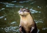 otter in chiangmai Thailand