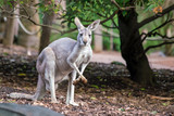 Kangaroo with natural background in Perth