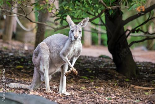 Aluminium Kangoeroe Kangaroo with natural background in Perth