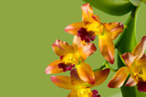 Streaked orchid flowers. Beautiful orchid flowers on blue background
