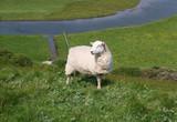 Schaf auf der Wiese - 164580469