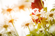 summer garden daisies at abstract floral background