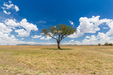 acacia tree in savannah at africa - 164597874
