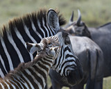 Mother and Baby Zebra 1